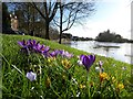 SO8454 : Crocuses beside a flooded River Severn by Philip Halling