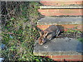 TL2126 : Poorly rabbit on footpath steps by Humphrey Bolton