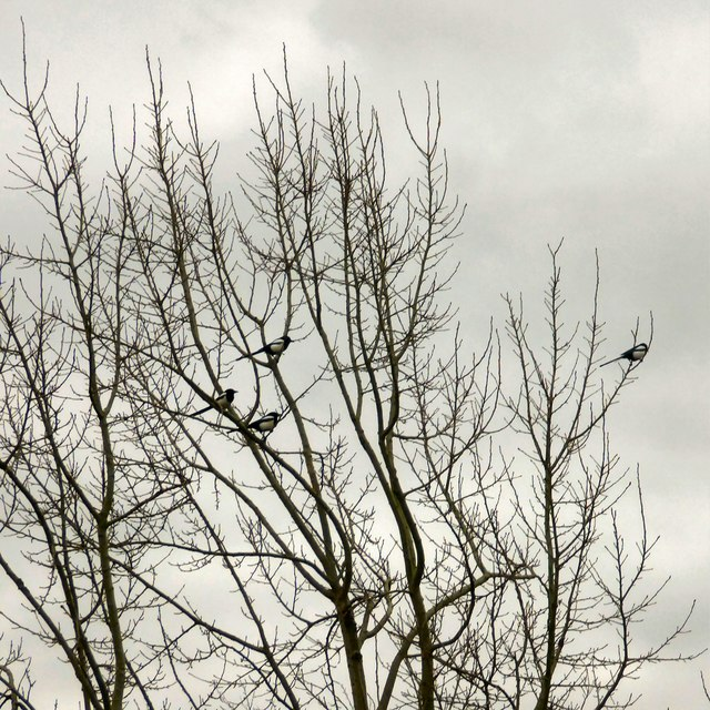 Four magpies