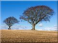 NH6363 : Beech trees by St Martins by Julian Paren