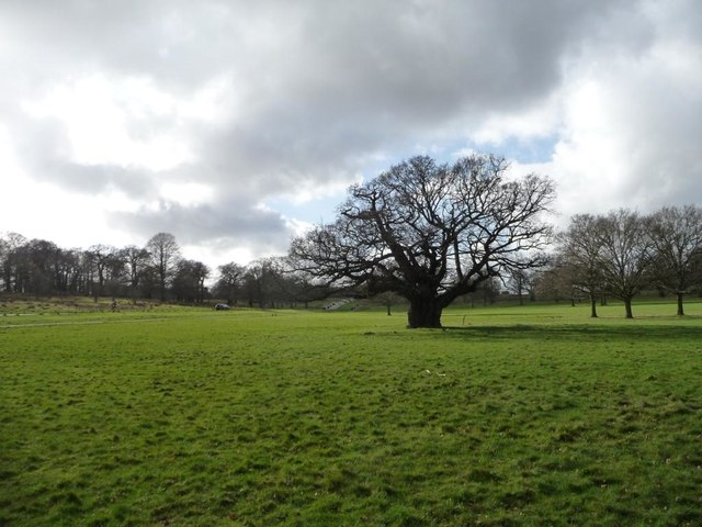 Old oak tree, Richmond Park