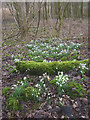 SD4776 : Snowdrops by Hawes Water by Karl and Ali
