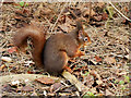 SD2708 : Red Squirrel at Formby by David Dixon