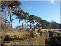 NT6378 : East Lothian Landscape : Blocks And Pines by Richard West