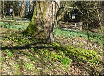 NZ0878 : Aconites and snowdrops  by Russel Wills