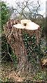 TG3304 : Ivy-clad tree stump by Evelyn Simak