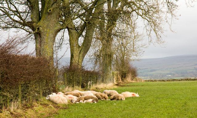 Somnolent sheep in field east of Winskill