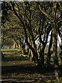 TA1648 : Hawthorns by Bewholme Lane by Paul Harrop