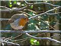 TQ2997 : Robin,Trent Park, Enfield by Christine Matthews