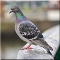 J3474 : Feral pigeon, Belfast  by Rossographer
