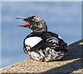 J5082 : Black Guillemot, Bangor by Rossographer