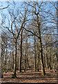 TQ2897 : Oak Wood, Trent Park, Cockfosters by Christine Matthews