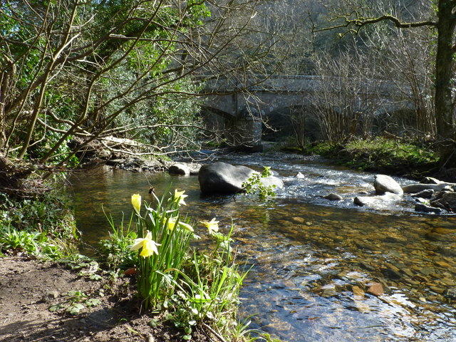 Wild daffodils, with Steps Bridge over the River Teign