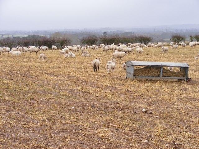 Lamb Field