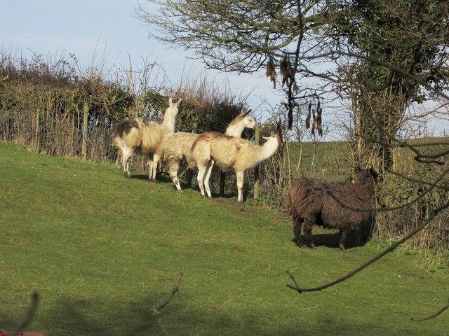 Alpacas near Farmington
