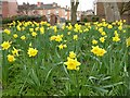 SO8554 : Daffodils in the Commandery by Philip Halling