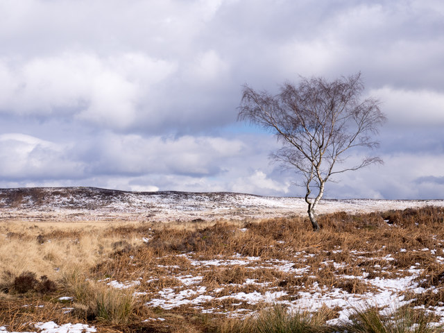 Birch tree on snowed moorland