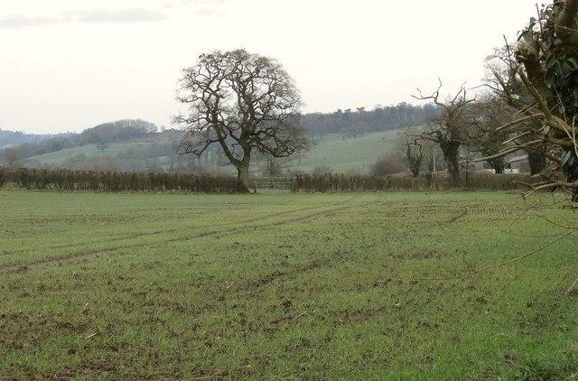 Hedgerow oak near Stanton Prior