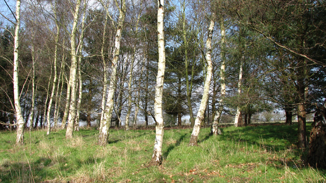 Birch trees in wood