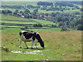 SD9965 : Cow on the Dales Way by Graham Robson