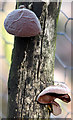 TG1608 : Mushrooms growing on dead tree by Evelyn Simak