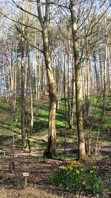 Beech trees at GreenAcres