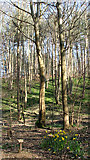 TG1608 : Beech trees at GreenAcres by Evelyn Simak