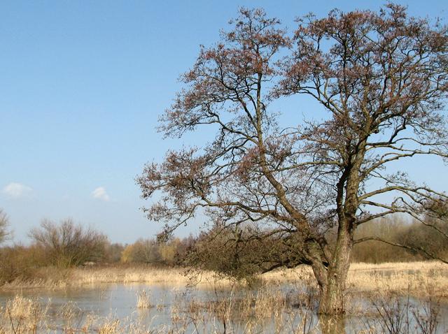 Waterlogged ash tree