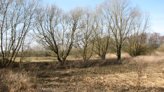 A line of trees growing beside a drainage ditch