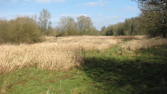 Reeds beside the River Yare