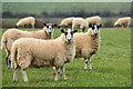 SS5741 : North Devon : Sheep Grazing by Lewis Clarke