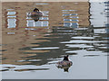 TQ3679 : Great Crested Grebes in Marina,  Rope Street, Rotherhithe, SE1 by Christine Matthews