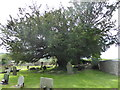 ST4690 : Large yew in the Parish Churchyard by Eirian Evans