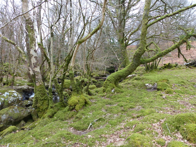 Mossy trees on the bank of Afon Aran