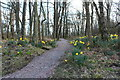 NX6345 : Woodland Path with Daffodils by Billy McCrorie