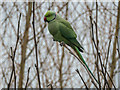 TQ2995 : Ring-Necked Parakeet, London N14 by Christine Matthews