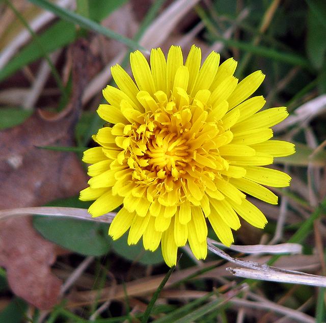 A dandelion flower