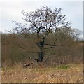 SJ5785 : Oak Tree in Middlemoss Wood by Gerald England