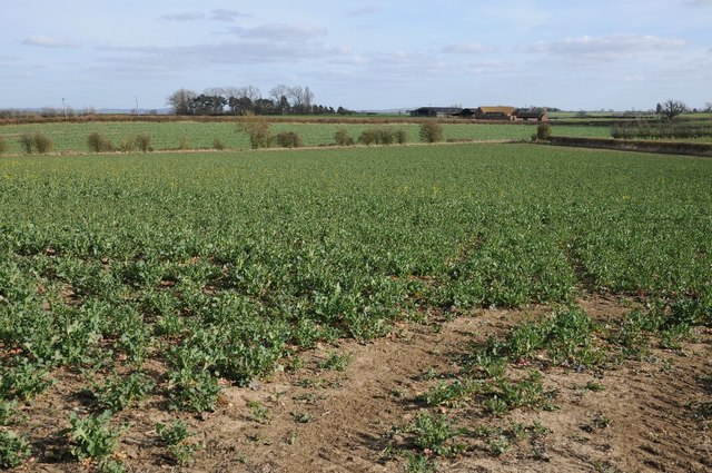 A field of broad beans