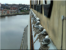 NZ2563 : Kittiwakes Roosting on the Baltic Flour Mill by David Dixon