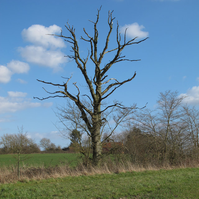 Dead tree on field boundary, Redisham