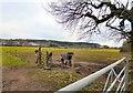 SJ5782 : Horses near Daresbury by Gerald England