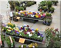 SJ9494 : Pansies and primulas by Gerald England