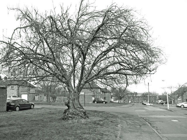 Old Cherry Tree, Malcolm Road
