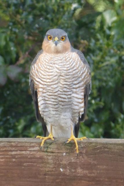 A sparrowhawk calls