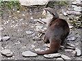 SD4214 : Asian Otter (Amblonyx cinerea) Feeding at Martin Mere by David Dixon