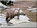 SD4214 : Asian Otter (Amblonyx cinerea) at Martin Mere by David Dixon