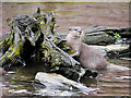 SD4214 : Asian Short-Clawed Otter (Amblonyx cinerea) at Martin Mere Wetland Centre by David Dixon