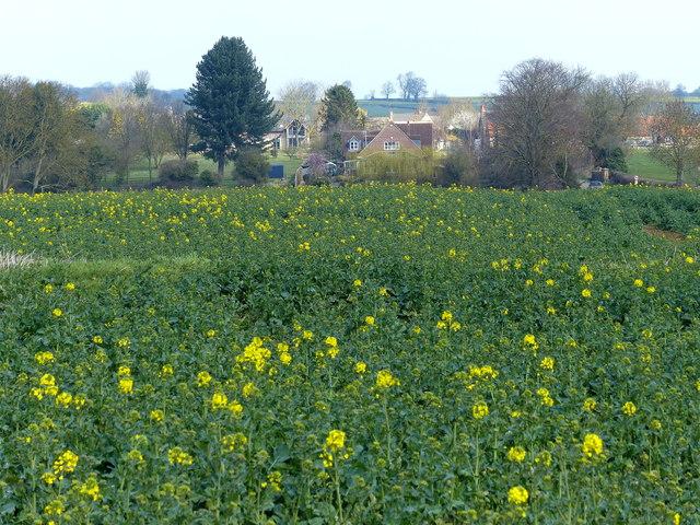 Oil seed rape crop near Woodnewton