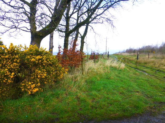 Whins and trees, Mullaghslin Glebe